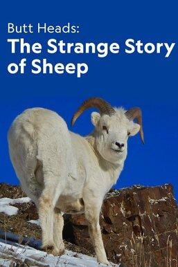 Butt Heads: The Strange Story of Sheep
