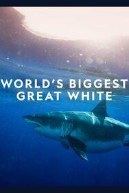 World's Biggest Great White?